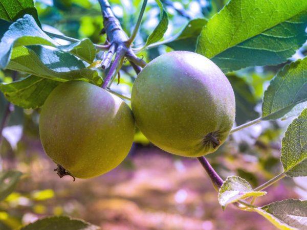 Яблоня порадует вас урожайностью