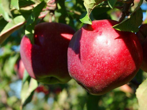 Яблоки на дереве созревают в разное время