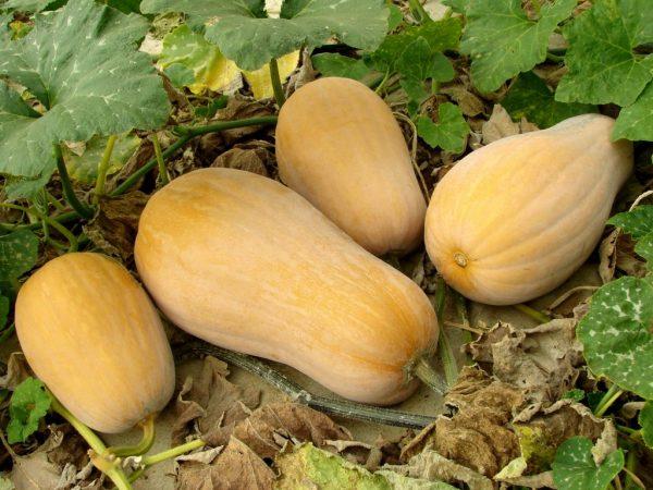Выращивание тыквы Матильда
