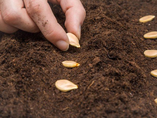 Семена высевают в прогретую почву