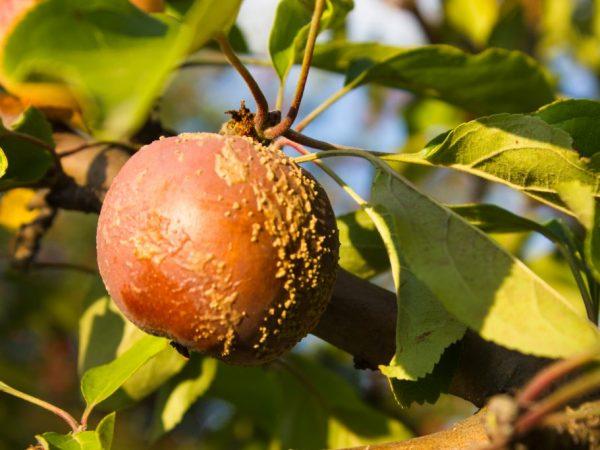 Как бороться с монилиозом яблонь