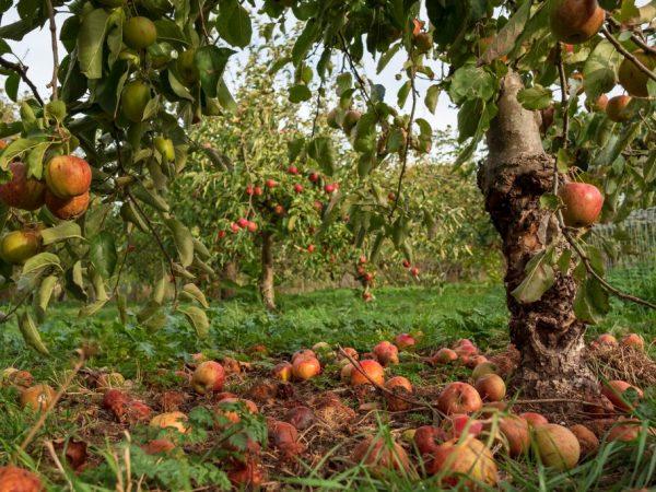 Яблони стоит обрабатывать