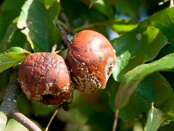 Берегите яблоки от инфекций