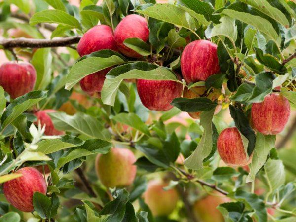 Подкармливать яблоню необходимо с трехлетнего возраста