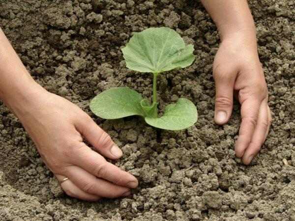 После посадки растения нужно полить