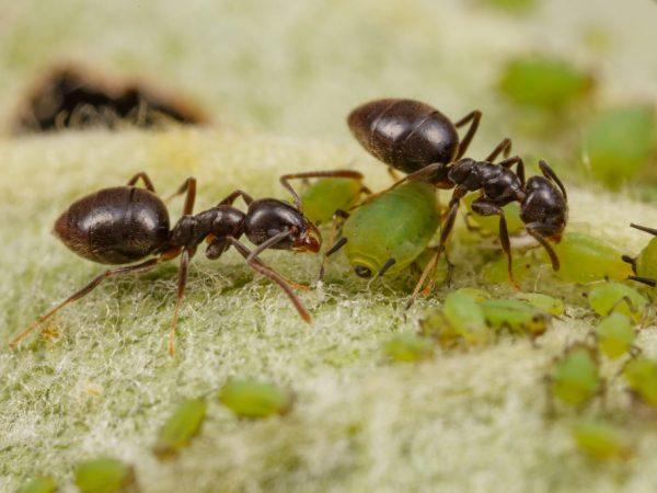 Необходимо избавиться от муравьев на участке