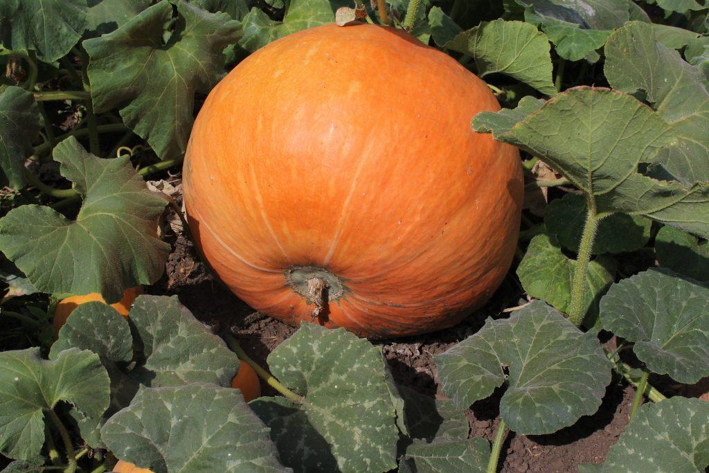 Описание вкуснейшей и питательной тыквы Улыбка