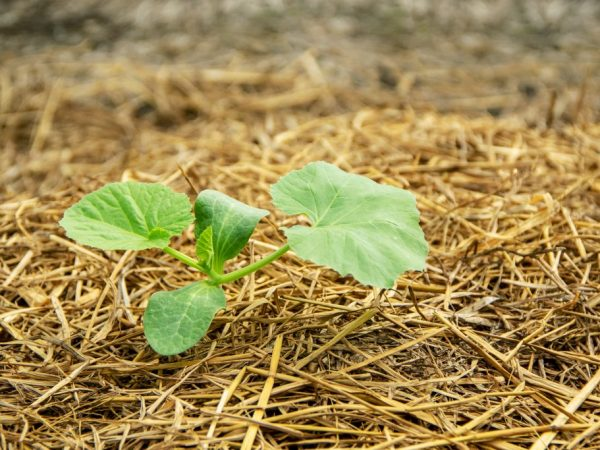 Рассаду можно высаживать в начале июня
