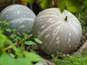 Характеристика тыквы сорта Волжская серая