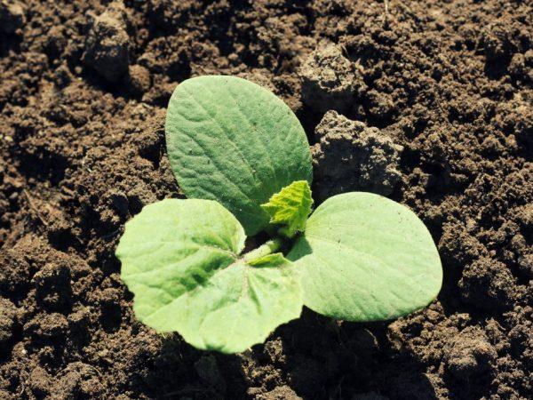 Рассаду высаживают в прогретую землю