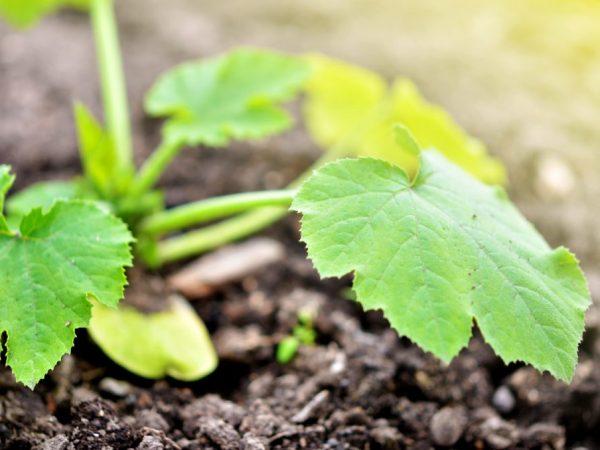 Растение предпочитает солнечные места