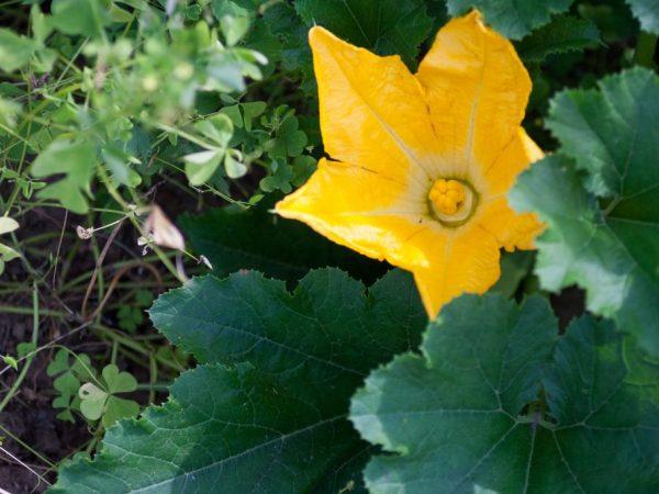 На стадии цветения проводят вторую подкормку