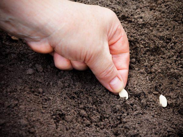 Семена пред посадкой необходимо закалить