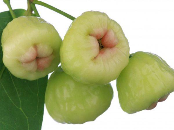 Особенности яблони сорта Белая роза