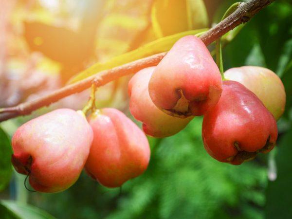 Мелкие и вкусные яблоки