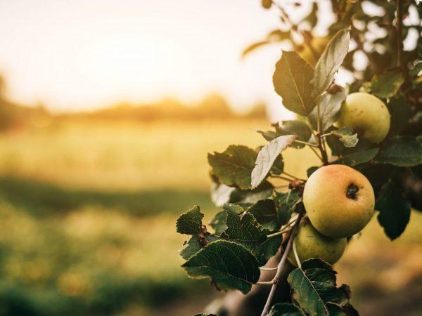 Сорт яблони Беркутовское. Описание, фото, отзывы | 450x600