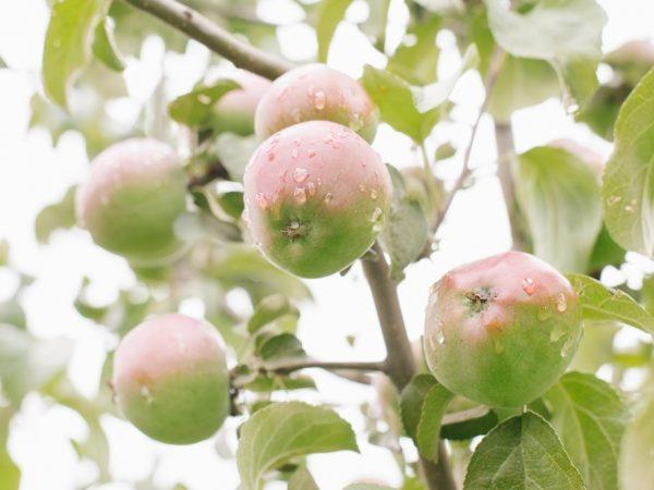 Плоды можно хранить в свежем виде пять месяцев