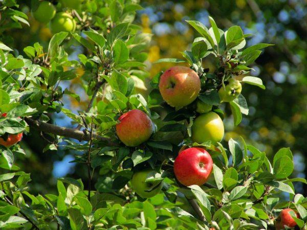 Сорт яблони Благая весть