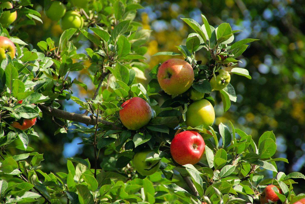 Яблоня благовест описание фото
