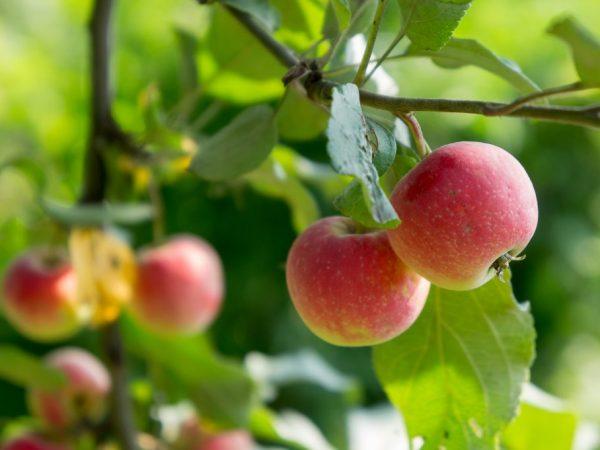 Собирать рекомендуется зрелые плоды