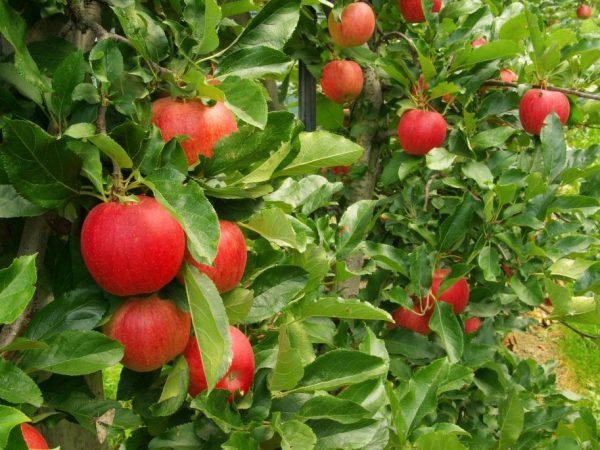 Сорт яблони Джеромини