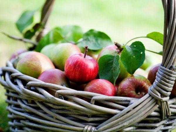 Яблоки хранятся в свежем виде две недели