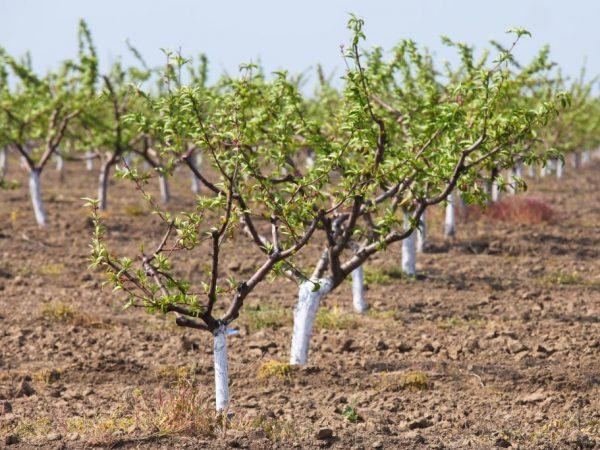 Деревья нужно сажать на проветриваемый участок