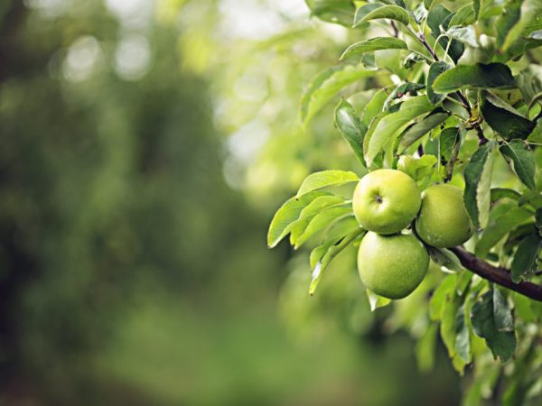 Яблоня нуждается в регулярном поливе