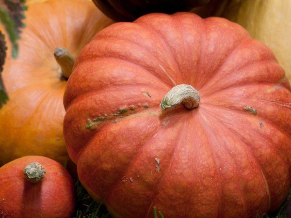 Спелость тыквы определяют по плодоножке