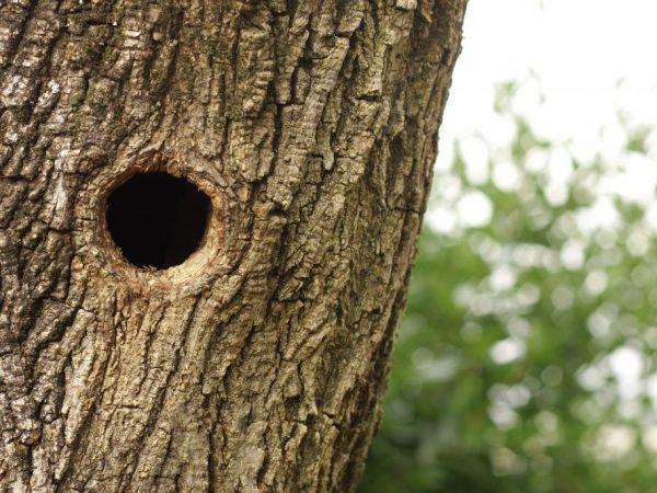 Правила лечения дупла у яблони
