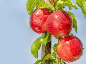 Колоновидная яблоня Червонец