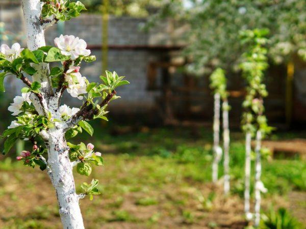 Яблоня нуждается в хорошем уходе