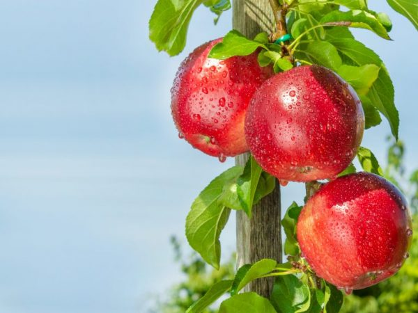 Колоновидная яблоня сорта Джин