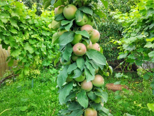 У яблони нет разветвлений
