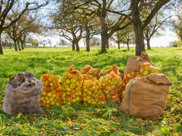 Можно получить 150 кг плодов с одного дерева
