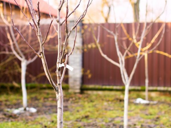 Выбирайте саженцы с крепкими корнями