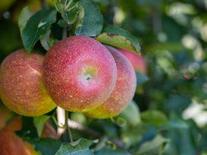 Выращивание яблони Марат Бусурин