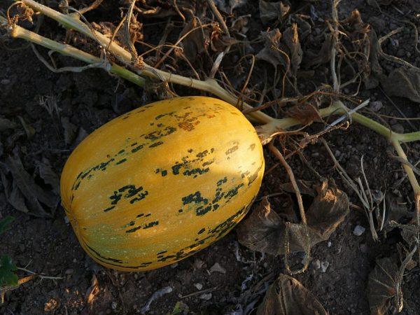 Тыкву Чудо-Юдо можно есть в сыром виде