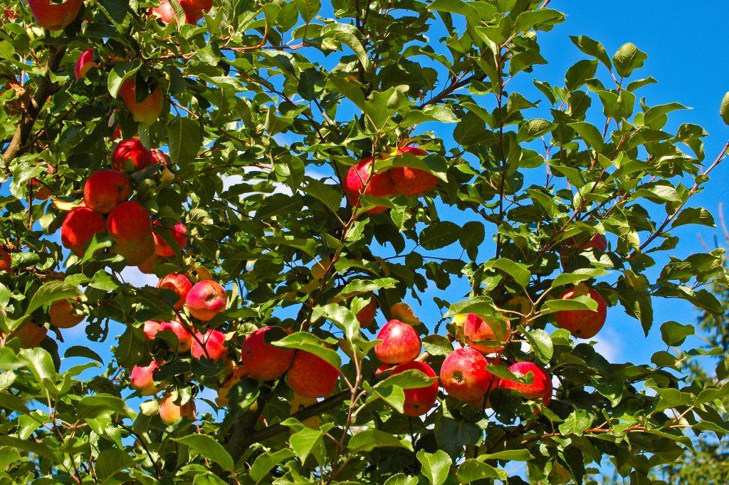 Лакомый десерт в вашем саду — яблоки сорта «орловский полосатый»