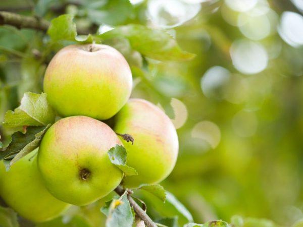 Сортовые особенности яблони Орлинка