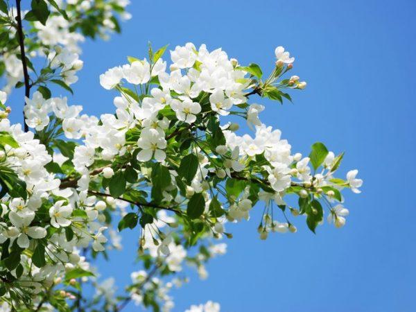 Дерево необходимо удобрять три раза за сезон