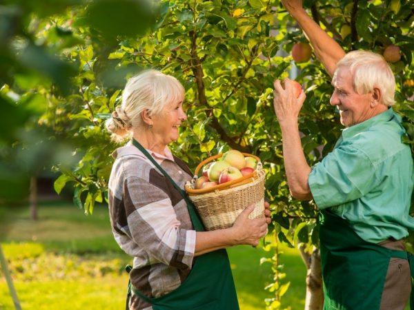 Яблоки разных сортов храните отдельно друг от друга