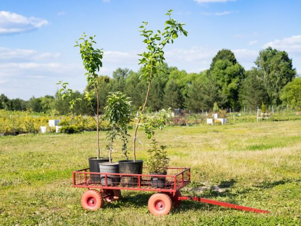 Для посадки выбирайте здоровые и крепкие деревца