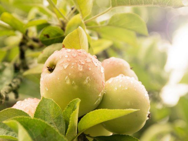 Яблоки очень вкусны и полезны