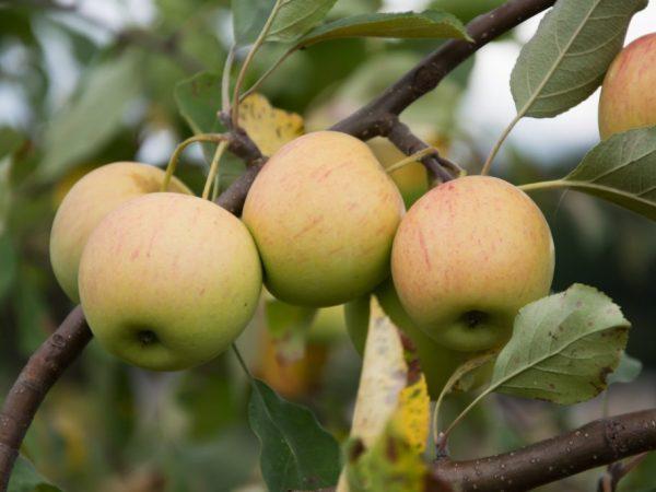 Кисло-сладкие яблочки