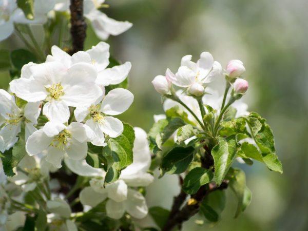 Яблоне необходим солнечный свет