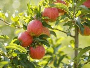 Старинная яблоня Штрейфлинг