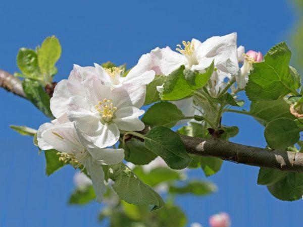 Плодоношение яблони зависит от качества ухода