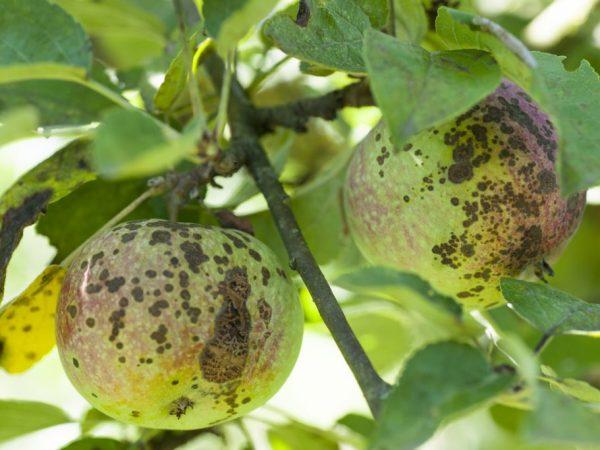Борьба с паршой на яблоне