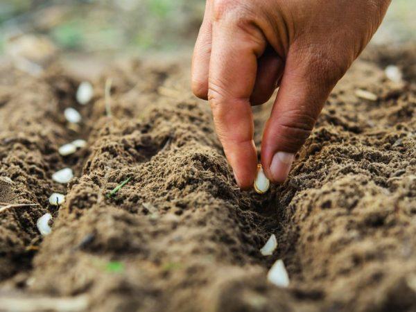 Семена к посадке необходимо подготовить